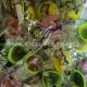 Coquillages Roudoudou au sucre parfumé - carton de 1000