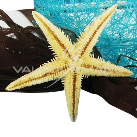 Etoiles de mer Véritables - 6 pièces